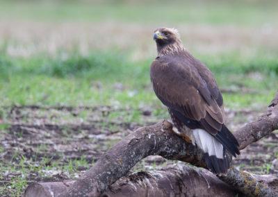 Steenarend, Aquila chrysaetos, Golden eagle | Zweden