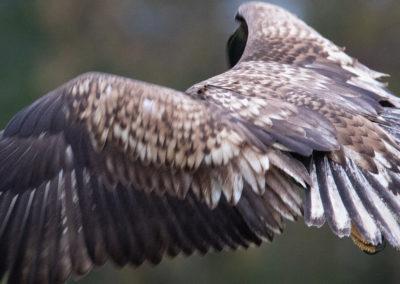Zeearend, Haliaeetus albicilla, White-tailed eagle | Zweden