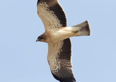 Dwergarend, Hieraetus pennatus, Booted eagle | Sagres | Algarve | Portugal