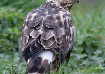 Ruigpootbuizerd, Buteo lagopus, Rough-legged buzzard | Zweden