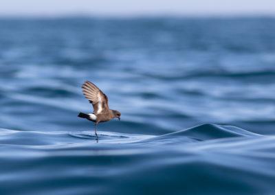 Stormvogeltje, Hydrobates pelagicus, Storm petrel