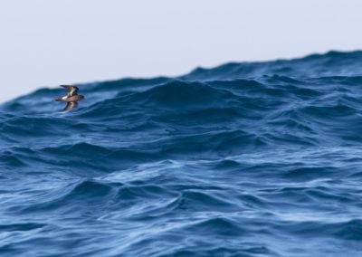 Stormvogeltje, Hydrobates pelagicus, Storm petrel   Algarve   Atlantische oceaan   Portugal
