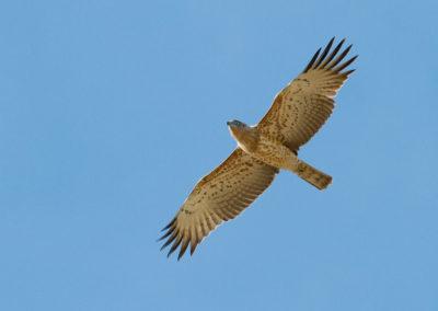 Slangenarend, Circaetus gallicus, Short-toed eagle
