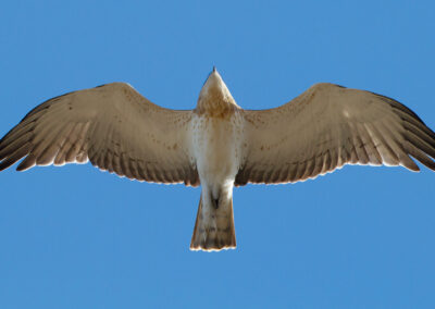 Slangenarend, Circaetus gallicus, Short-toed eagle   Sagres   Algarve   Portugal