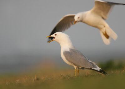 Stormmeeuw, Larus canus, Common gull