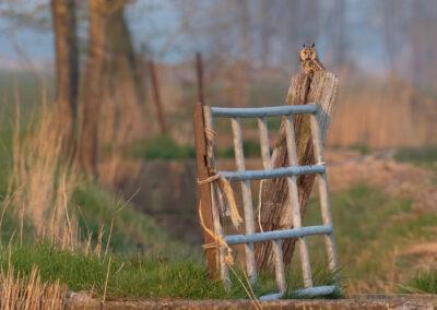 Ransuil, Asio otus, Long-eared owl | Winsumermeeden | Hogeland