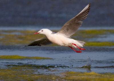 Dunbekmeeuw, Larus genei, Slender-billed gull