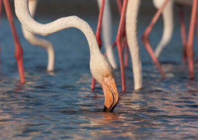 Flamingo, Phoenicopterus roseus, Greater flamingo