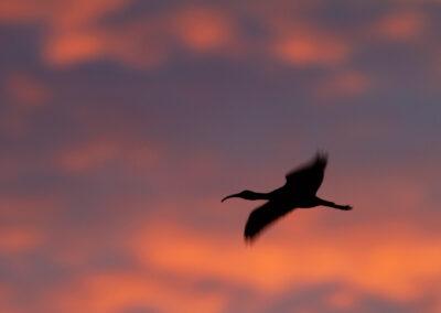 Zwarte ibis, Plegadis falcinellus, Glossy Ibis