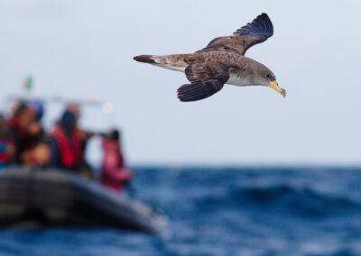 Kuhls pijlstormvogel, Calonectris borealis, Cory's shearwater